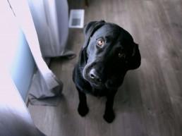 dog listens